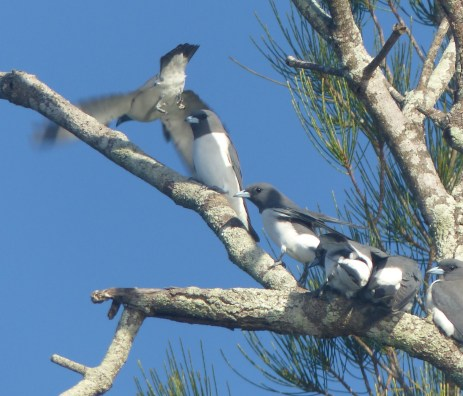 """Clumping"" white-breasted woodswallows"